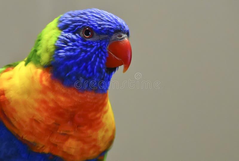 一条五颜六色的彩虹Lorikeet的画象在澳大利亚 库存照片