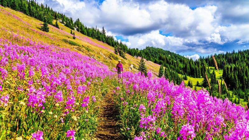 一条供徒步旅行的小道的资深妇女在桃红色野草盖的高山草甸开花 库存照片
