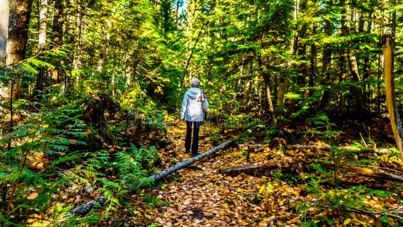 一条供徒步旅行的小道的资深妇女对道森秋天北部边缘在维尔斯灰色省公园在不列颠哥伦比亚省,加拿大 免版税库存照片