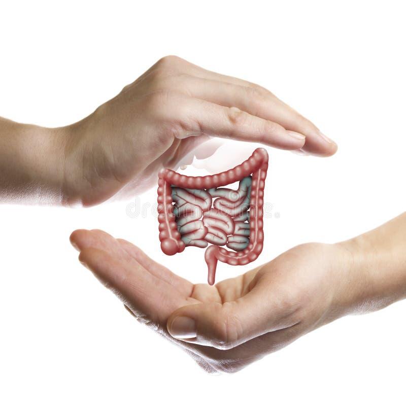 一条健康肠的概念 免版税库存照片