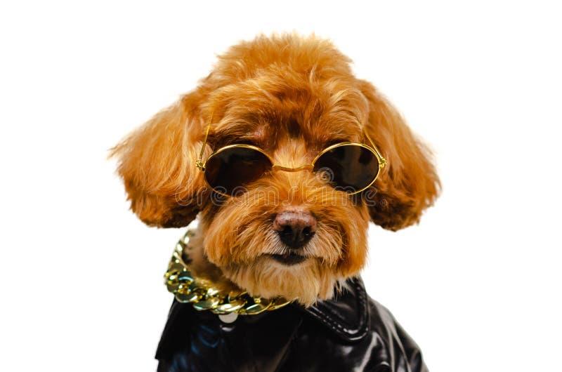 一条可爱的微笑的棕色玩具狮子狗狗佩带的太阳镜,金黄项链和穿戴与皮夹克旅行概念的 库存图片