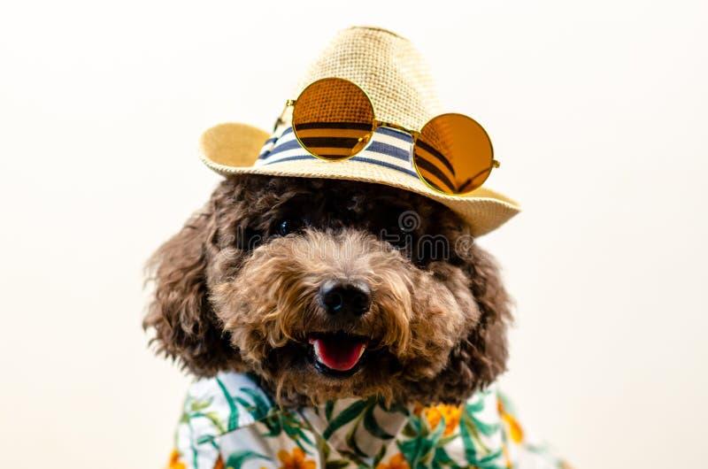 一条可爱的微笑的黑玩具狮子狗狗戴有太阳镜的帽子在上面和夏威夷礼服夏季的在白色背景 免版税库存照片