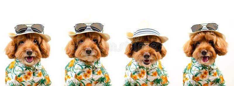 一条可爱的棕色玩具狮子狗狗的表示面孔戴有太阳镜和夏威夷礼服的帽子在白色的夏季的 免版税图库摄影