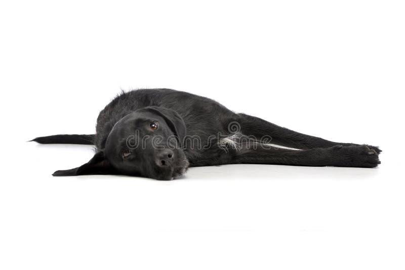 一条可爱的混杂的品种狗的演播室射击 库存图片