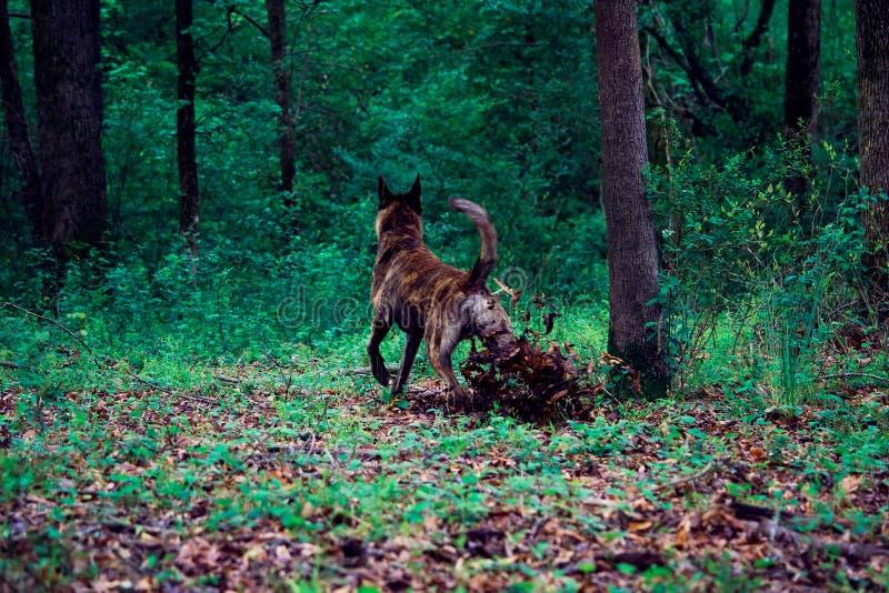一条在森林远足期间的大狗解雇叶子 免版税库存图片