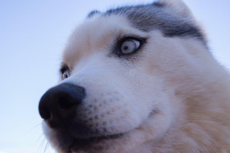 一条多壳的狗的特写镜头 免版税库存图片
