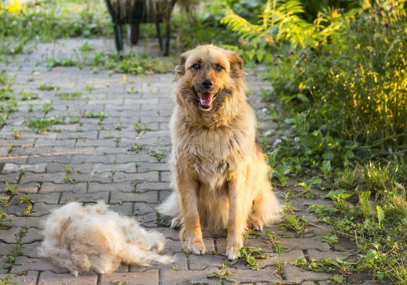 一条大蓬松愉快的狗在流洒他们的羊毛以后坐户外 免版税库存照片