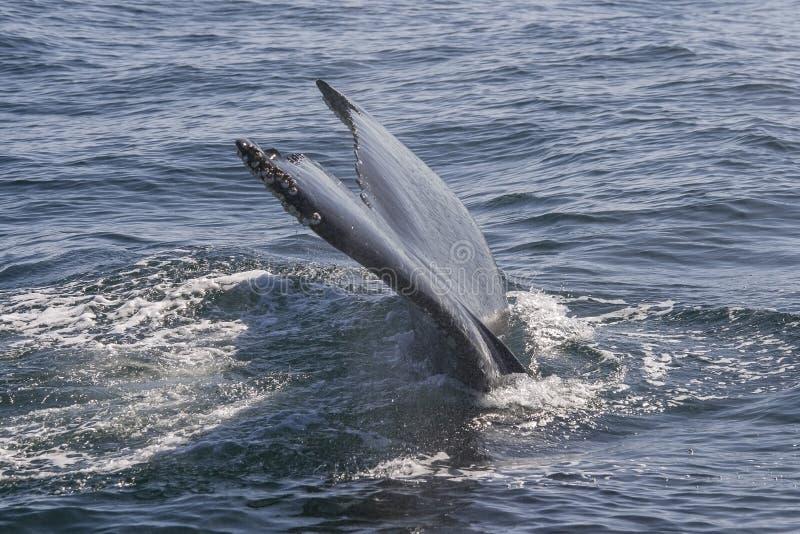 一条大鲸鱼的尾 免版税库存图片