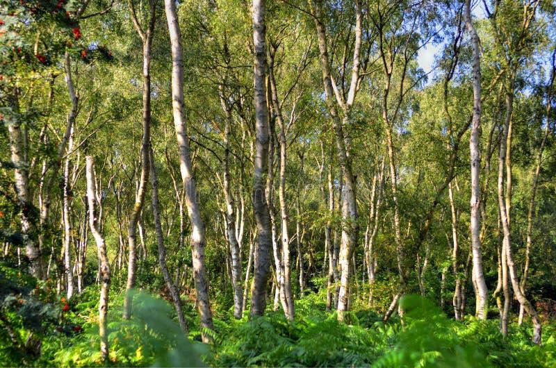 一条宽被日光照射了小径通过在橡木和白桦树树之间在舍伍德森林 库存照片