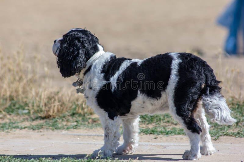 一条小黑白狗的图象,看在正在寻找某人的街道下 他是单独的 库存照片