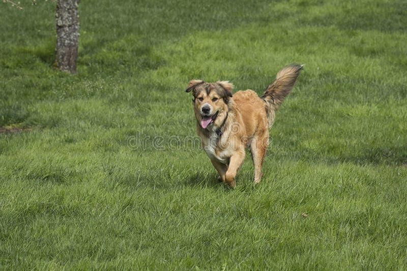 三级人与兽黄色_一只金黄牧羊人多壳的混合小狗在豪华的绿色草坪站立,休息在嬉戏的