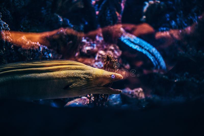 水下的野生生物 一条异乎寻常的鱼的特写镜头照片在Oceanarium的 免版税库存照片