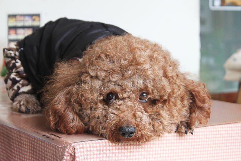 一条惊人的卷曲小狗 免版税库存图片