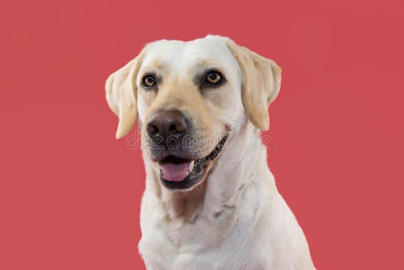 一条愉快的拉布拉多猎犬狗的画象 反对珊瑚背景的被隔绝的演播室射击 免版税库存照片