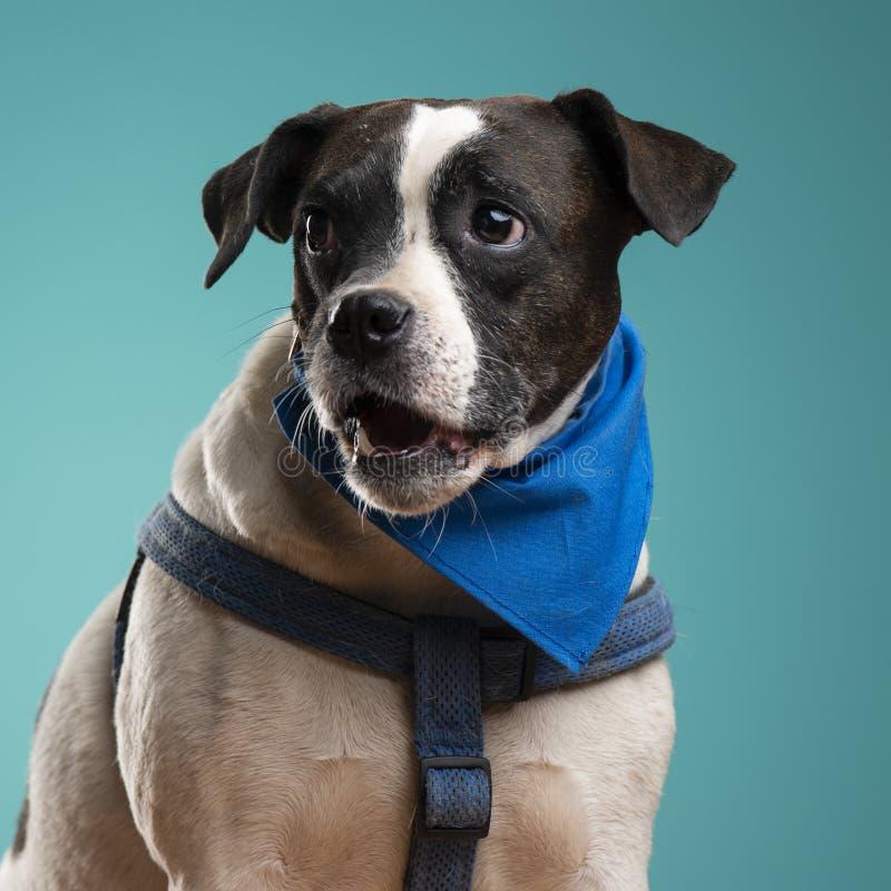 一条拳击手狗在演播室 免版税库存照片
