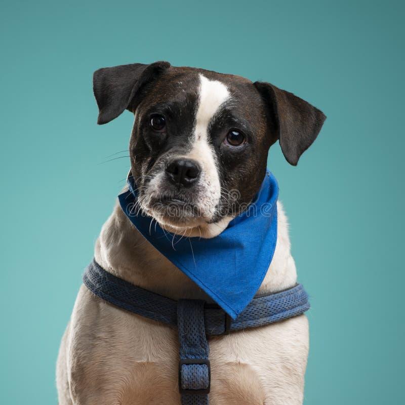 一条拳击手狗在演播室 库存照片