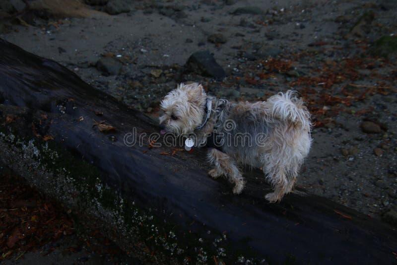 一条柔滑的狗走在一本湿日志的x 免版税库存图片
