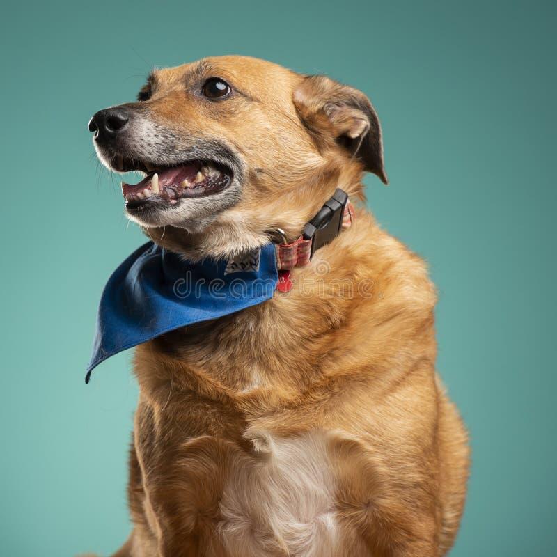 一条棕色狗在演播室 库存图片