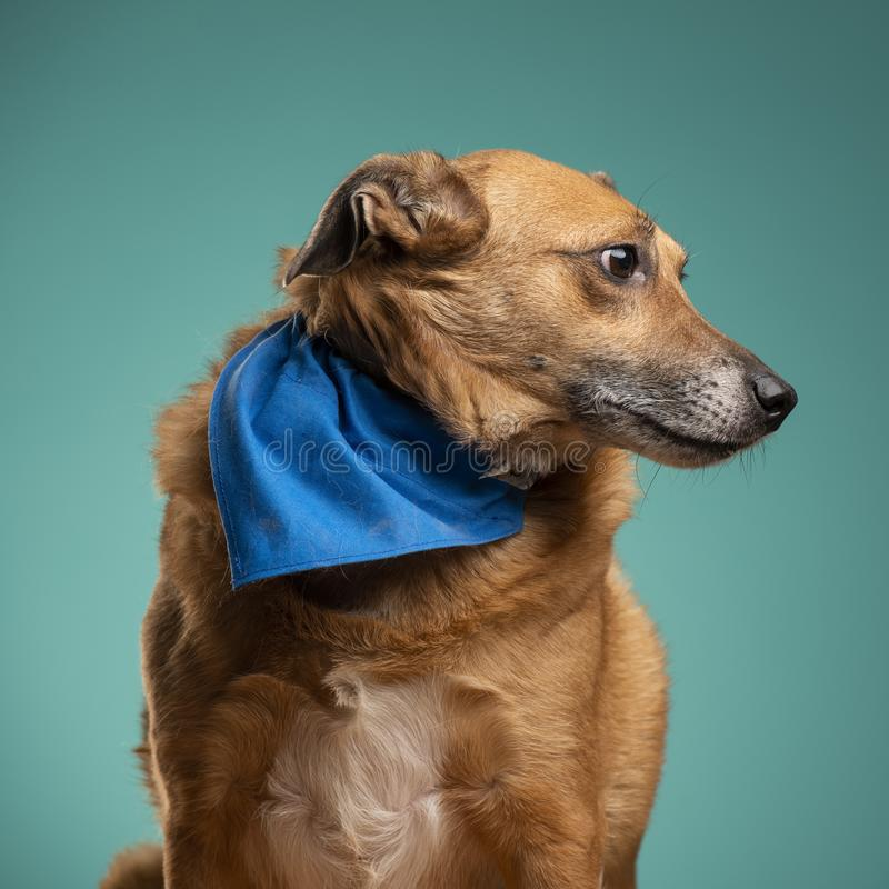 一条棕色狗在演播室 免版税库存照片