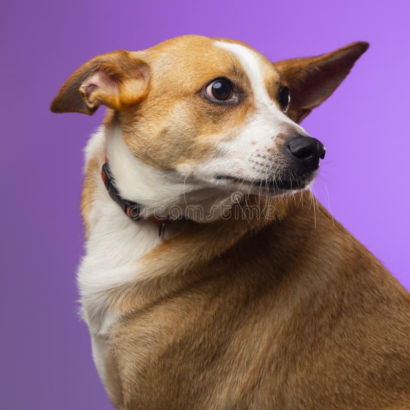 一条棕色狗在演播室 库存照片