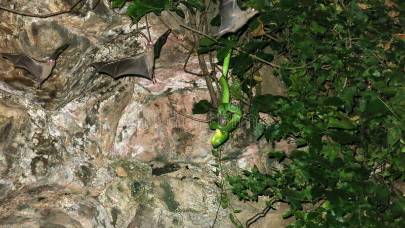 一条毒蛇吃一根棒 在热带植被抓住的蛇捕食 鸟的嘴唇发白坑蛇蝎狩猎 棒飞行 图库摄影