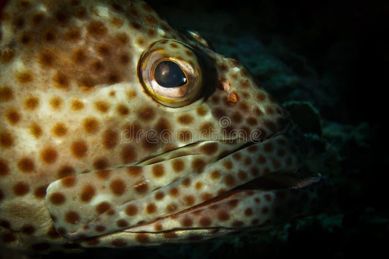 一条油腻石斑鱼的画象 库存图片