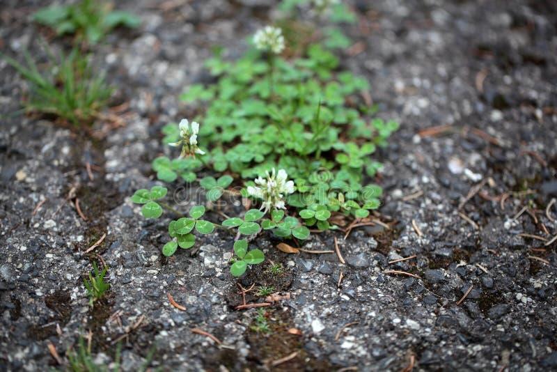 一条涂焦油路的植物 库存图片