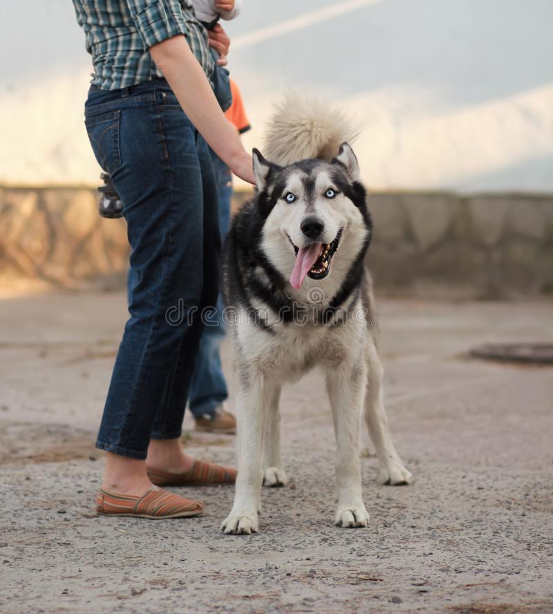 一条滑稽的嬉戏的雪撬多壳的狗的画象与舌头的在他的所有者旁边 库存图片