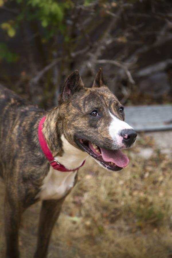 一条烟草花叶病的狗的微笑的画象 免版税库存图片