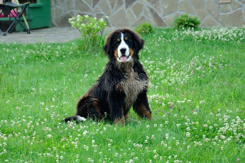 一条狗在绿草坐在房子附近 免版税库存图片