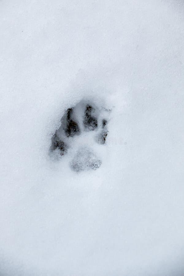 一条狗或一头狼的脚印刷品在白雪 库存图片
