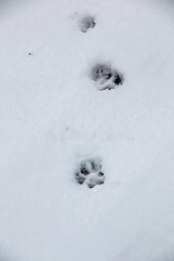 一条狗或一头狼的脚印刷品在白雪 库存照片
