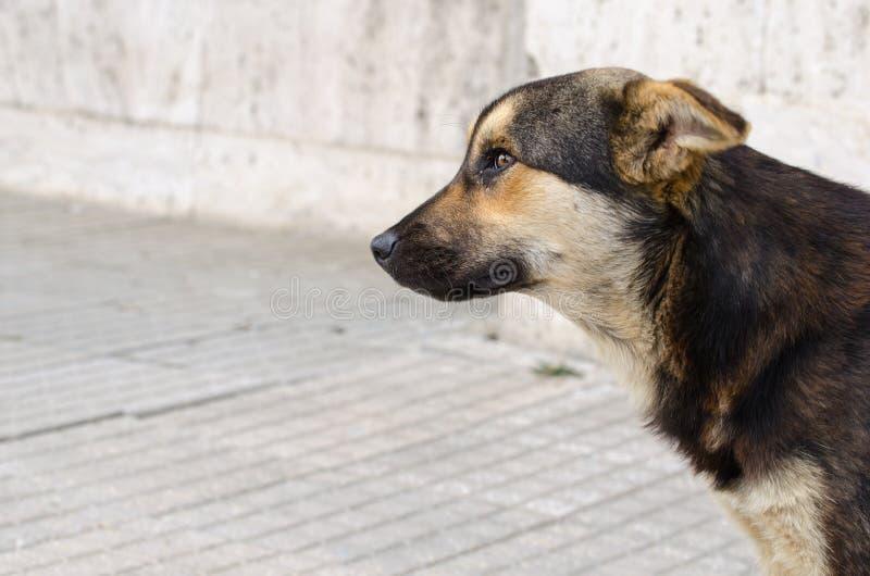 一条狗的外形画象没有所有者的 离群杂种狗 库存图片
