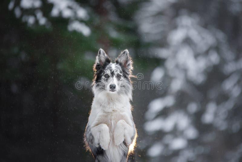 一条狗的画象在森林服从的大理石博德牧羊犬的冬天 走与宠物 免版税库存照片
