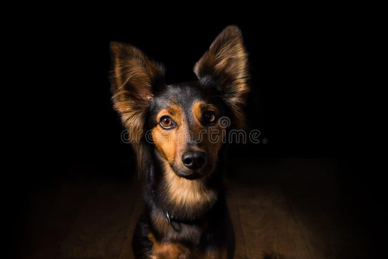 一条狗的画象在黑背景的 免版税图库摄影