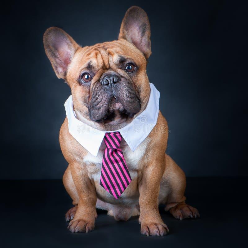 一条狗,法国牛头犬在领带和白领 教育,训练狗 免版税库存照片