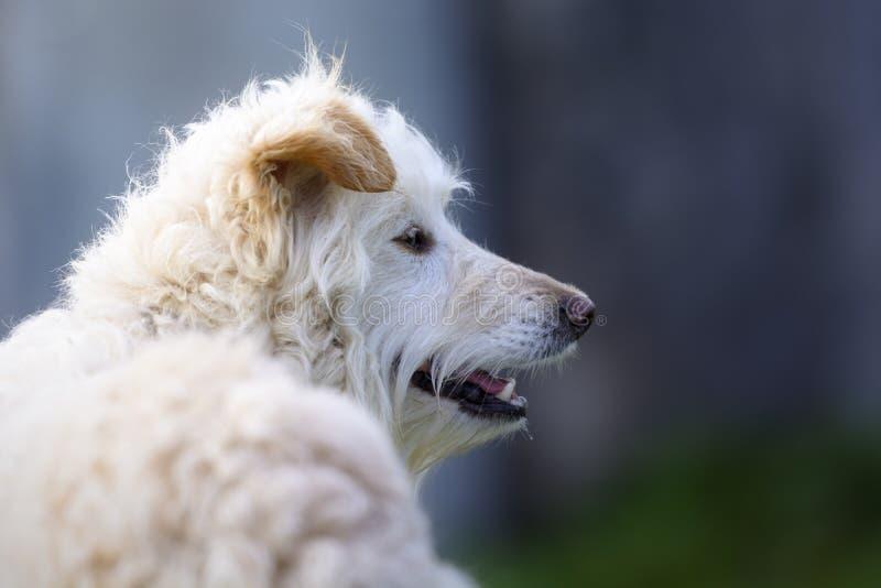 一条白色杂种狗的画象与棕色耳朵的 库存图片