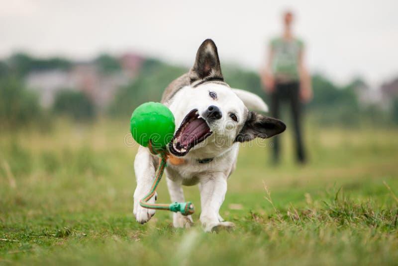 一条白色混杂的品种狗设法追上一个绿色球 免版税图库摄影