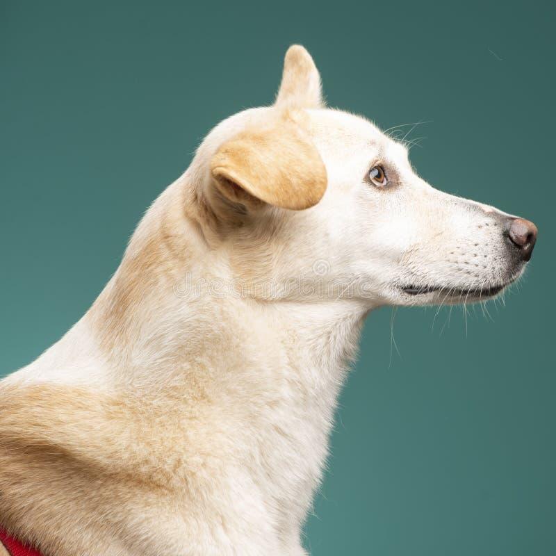一条白色狗在演播室 免版税库存图片