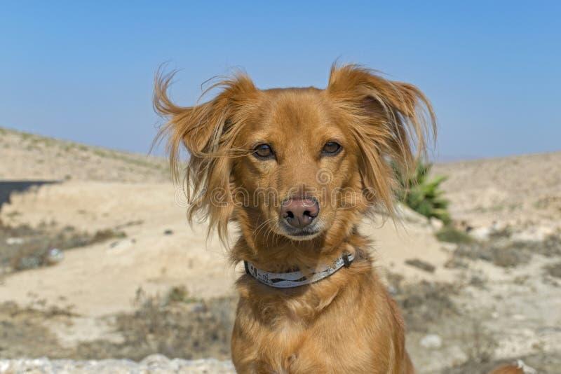 一条红色狗的画象在沙漠背景的 免版税库存照片