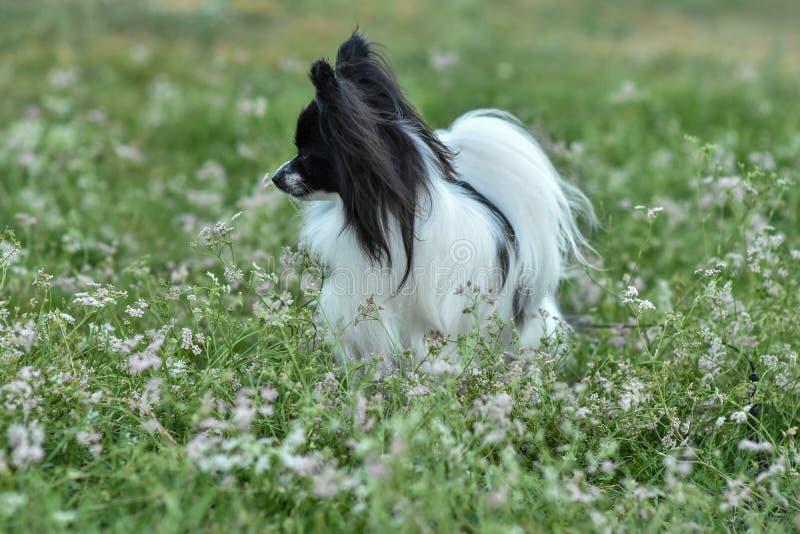 一条纯血统Papillon狗的画象在草的 图库摄影
