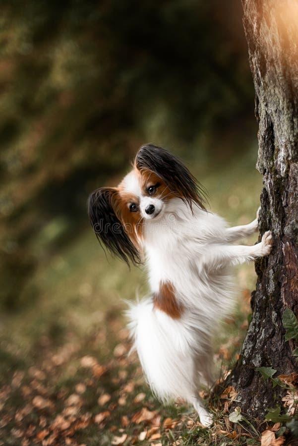 一条纯血统papillon狗的画象 免版税库存图片