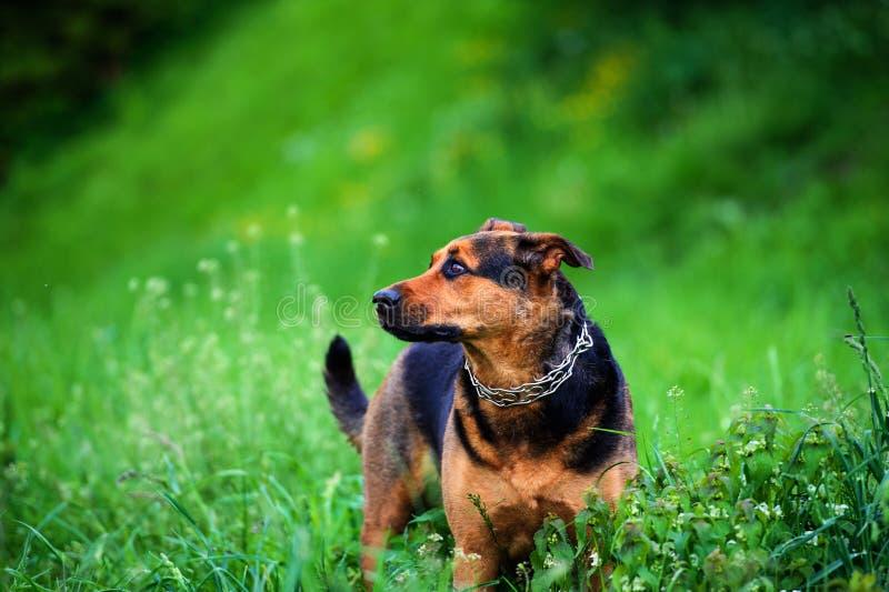 一条美丽的狗的画象 免版税库存图片