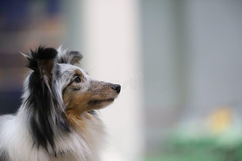 一条美丽的良种狗的画象 图库摄影