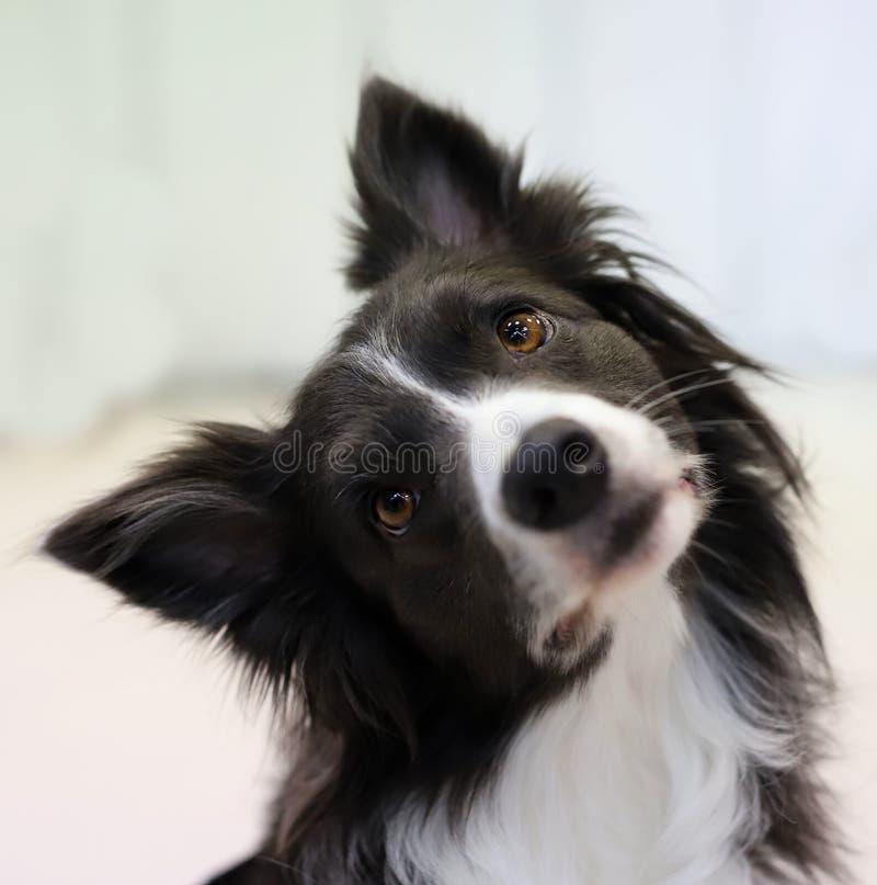 一条美丽的良种狗的画象 免版税图库摄影