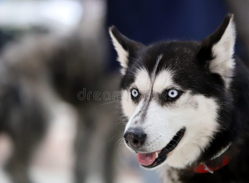 一条美丽的良种狗的画象 库存照片