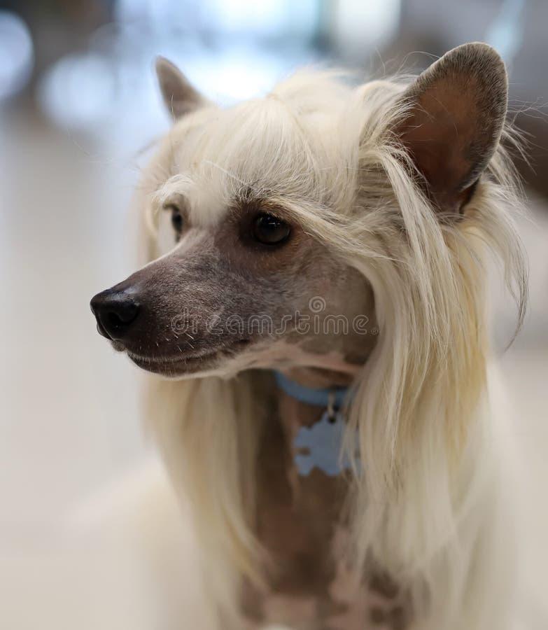 一条美丽的良种狗的画象 库存图片