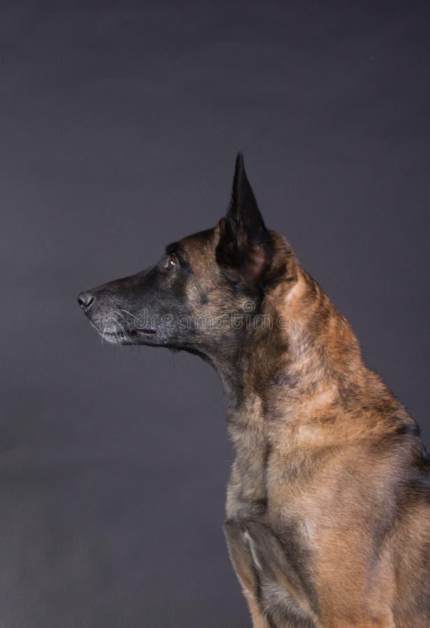 一条美丽的malinois狗的画象 库存照片