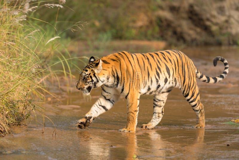 一条老虎横穿河在森林里 免版税库存照片