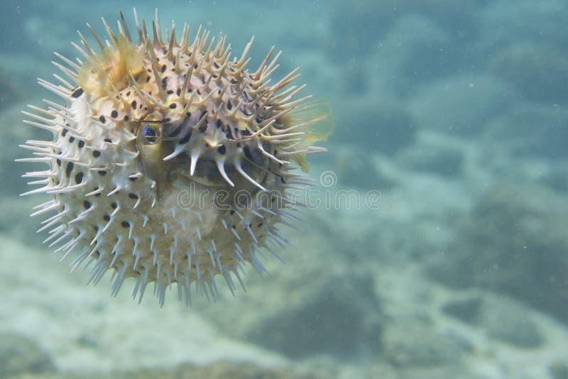 一条膨胀的刺鱼 免版税库存照片